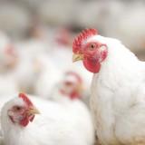 Hormônio em Frangos de Corte - Nutriçâo Animal - Agroceres Multimix