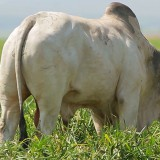 Produção de Bovinos | Nutrição Animal - Agroceres Multimix