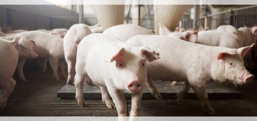 Rações para Suínos - Nutrição Animal - Agroceres Multimix
