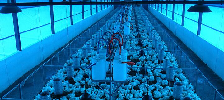 Iluminação Adequada - Nutrição Animal - Agroceres Multimix