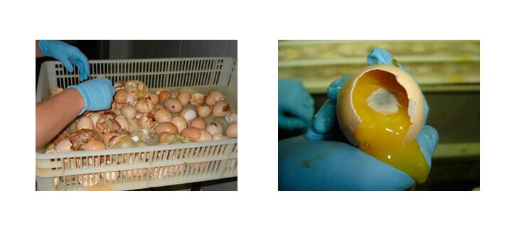 Ovo incubável - Agroceres Multimix | Nutrição Animal