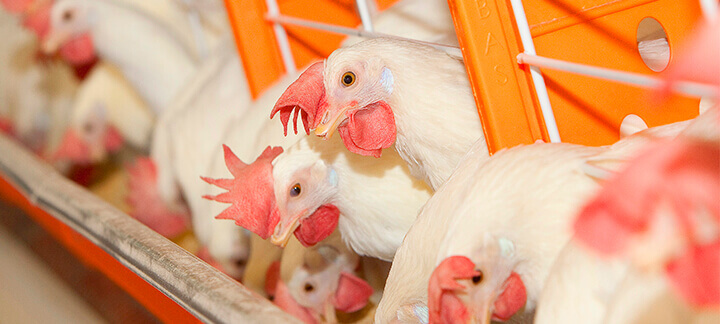 Proteína Ideal | Agroceres Multimix - Nutrição Animal