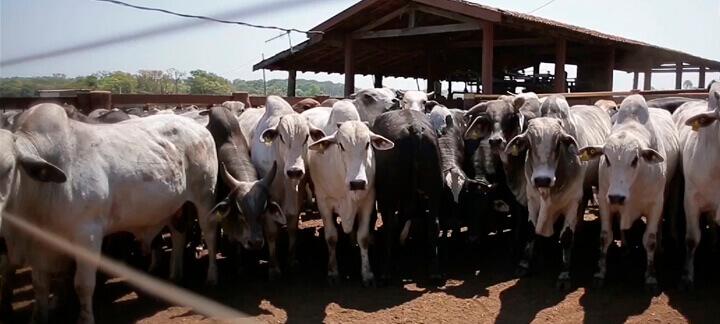 Sanidade no Confinamento | Nutrição Animal - Agroceres Multimix