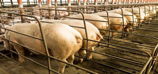 Mortalidade de porcas tem relação com Clostridium Novyi