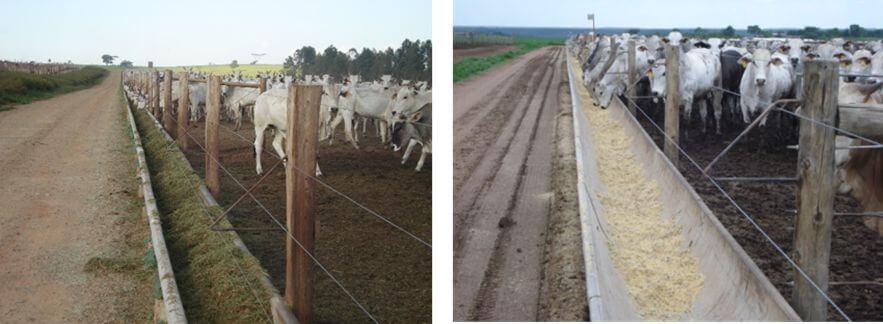 Fibra efetiva para bovinos de corte - Geração Confinatto