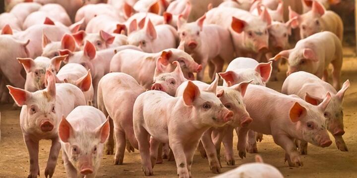 Pós-desmame de Leitões: Características e manejo. Nutrição Animal