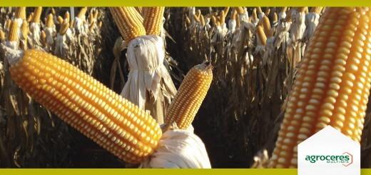 Preço do Milho - Nutrição Animal - Agroceres Multimix