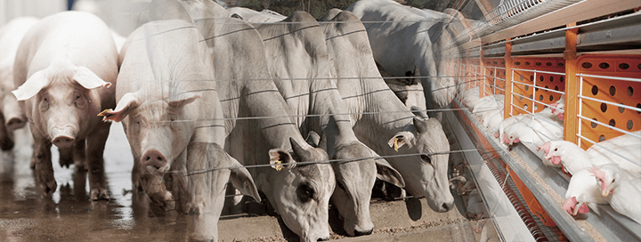 Transgênicos na Nutrição Animal - Nutrição Animal - Agroceres Multimix