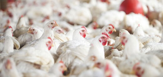 Carcaças no Frigorífico - Nutrição Animal - Agroceres Multimix