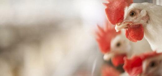 Energia na Ração - Nutrição Animal - Agroceres Multimix