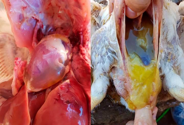Ascite em frangos de corte - Saúde Avícola | Nutrição Animal