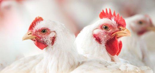Aporte de vitaminas - A imagem mosta duas galinhas brancas no meio de um aviário