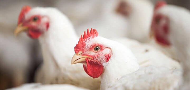 nutrição animal - aves de corte