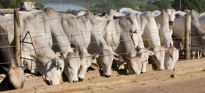 nutrição animal - bovinos de corte