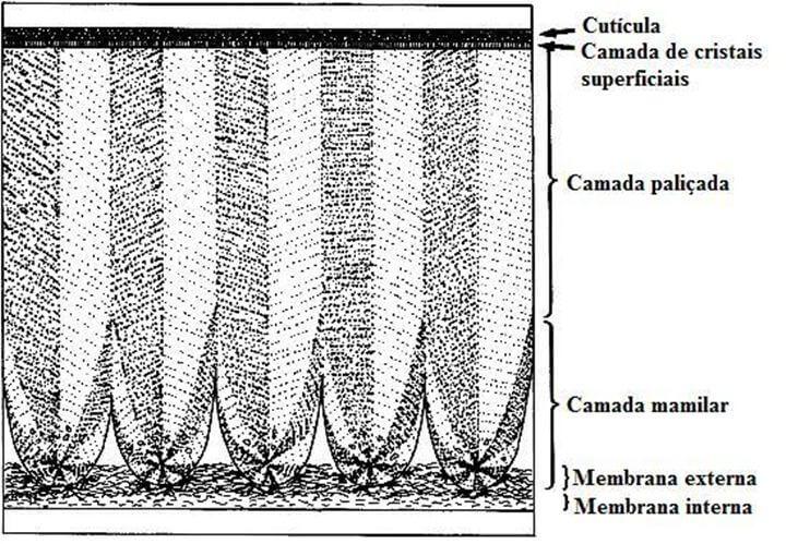 Qualidade da casca - uma imagem mostrando a estrutura da casca