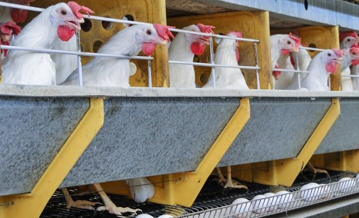Qualidade da casca - uma imagem mostrando as galinhas e alguns ovos